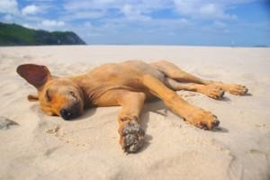 Dog Sleeping On The Beach.