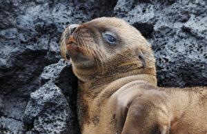 Baby Seelöwe