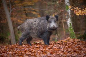Male boar in beech woodland