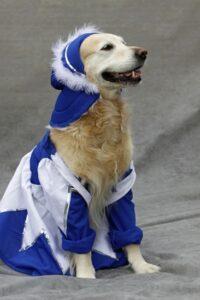 Labrador verkleidet als Funkenmariechen