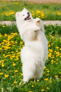 Funny Young Happy Smiling White Samoyed Dog Or Bjelkier, Smiley, Sammy Playing Showing Trick Outdoor In Green Spring Meadow With Yellow Flowers. Playful Pet Outdoors.