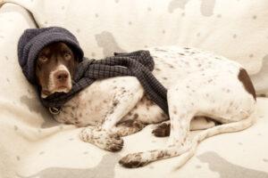 english pointer dog