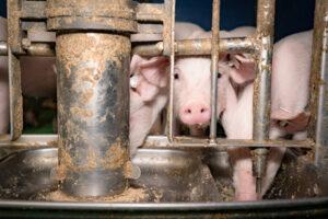 Schweinezucht - Ferkel an einem Futterautomaten
